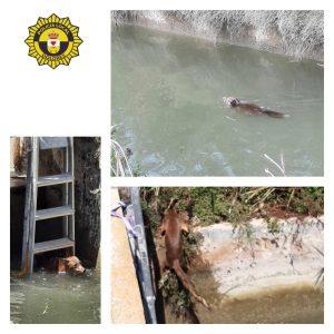 Agentes de la Policía Local rescatan a dos ovejas y un zorro tras caer a unos canales 7